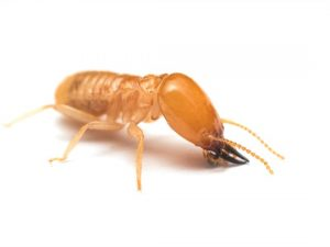 Learn about termites in the Arizona Home Inspection Process